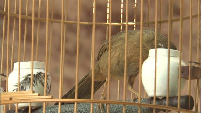 melodius laughingthrush peers out of cage, beijing, china - nutztier oder haustier stock-videos und b-roll-filmmaterial