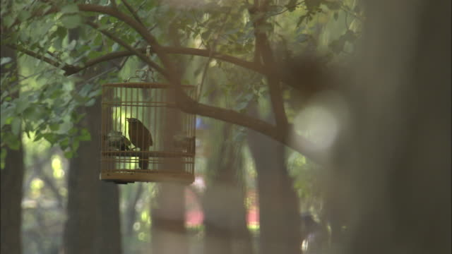 Melodius laughingthrush sings in cage in park, Beijing, China