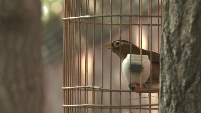 vídeos de stock, filmes e b-roll de melodius laughingthrush sings in cage in park, beijing, china - confinamento