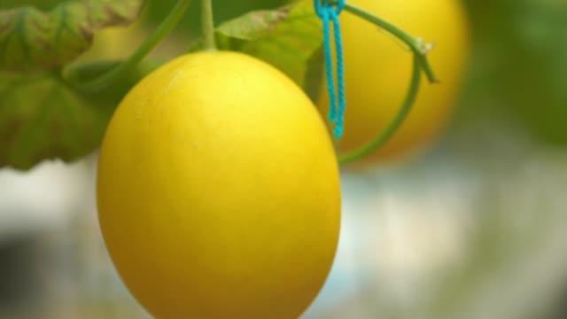 vídeos de stock e filmes b-roll de melon farm, organic and hydroponic - crucifers
