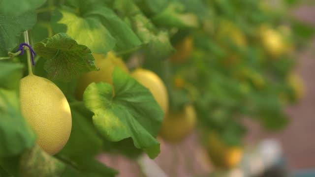melonenfarm, bio und hydroponic - obstbaum stock-videos und b-roll-filmmaterial