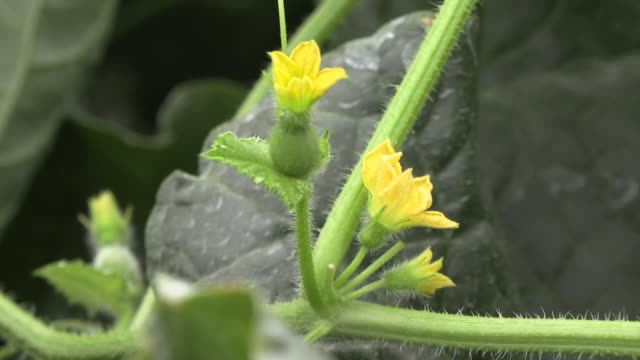 vídeos de stock, filmes e b-roll de melon flowers, ibaraki, japan - melão musk