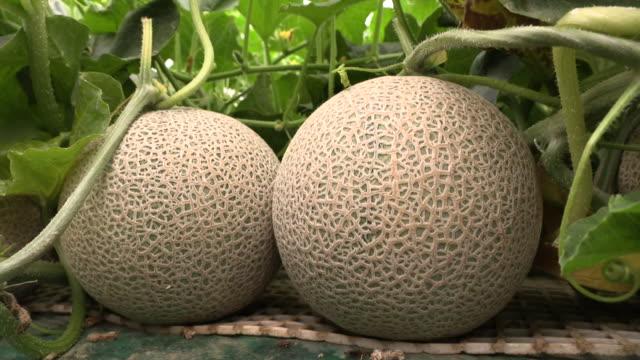 melon fruits, ibaraki, japan - greenhouse stock videos & royalty-free footage