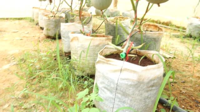 vídeos y material grabado en eventos de stock de melón verde grande en invernaderos. - calabaza no comestible