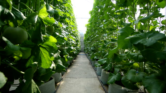 Melon Organic farm