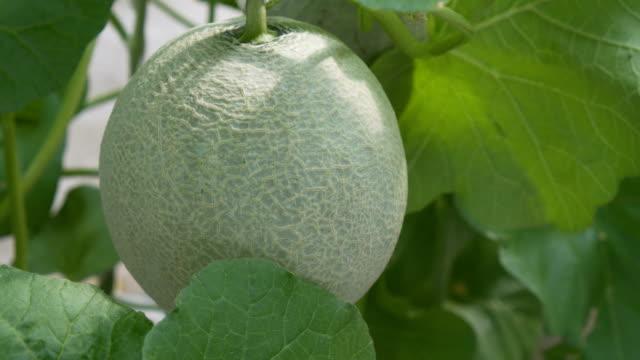 vídeos de stock, filmes e b-roll de fazenda orgânica de melão - melão musk