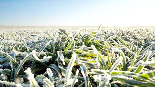 melting snow on the winter cereals. - frost stock videos & royalty-free footage