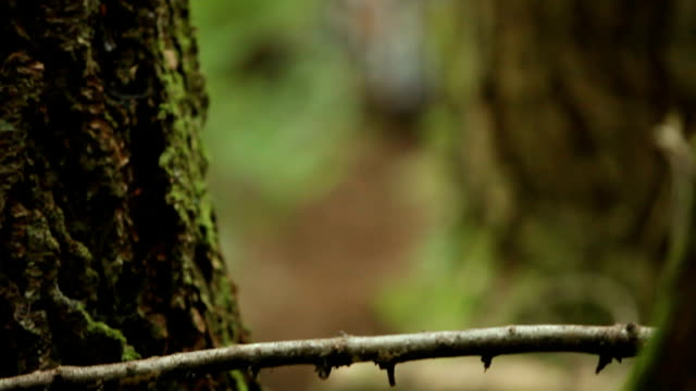 MS R/F TU PAN Men and woman mountain biking through forest / Squamish, British Columbia, Canada