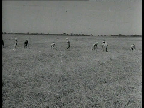 stockvideo's en b-roll-footage met men and women farming with oxen and by hand india 1953 - theeblaadjes