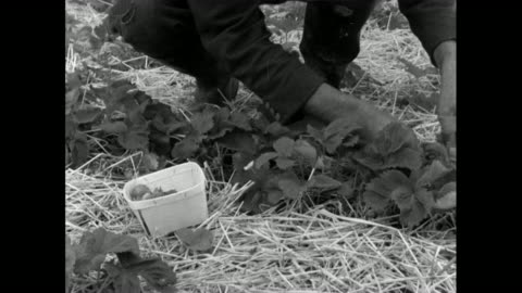 men and women pick strawberries in field; 1956 - trug stock videos & royalty-free footage