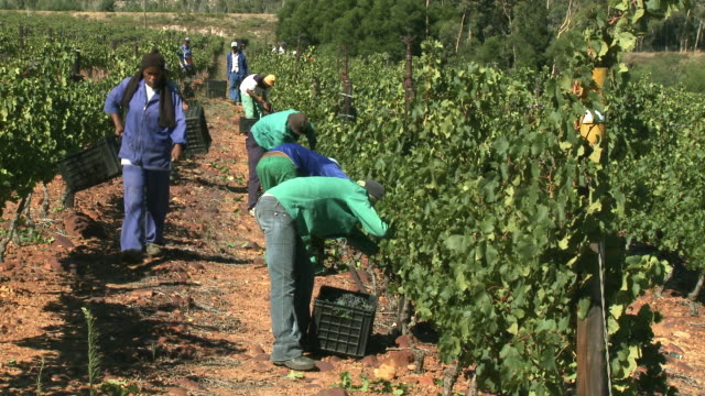 WS Men and women picking grapes in vineyard, Franschhoek, Western Cape, South Africa