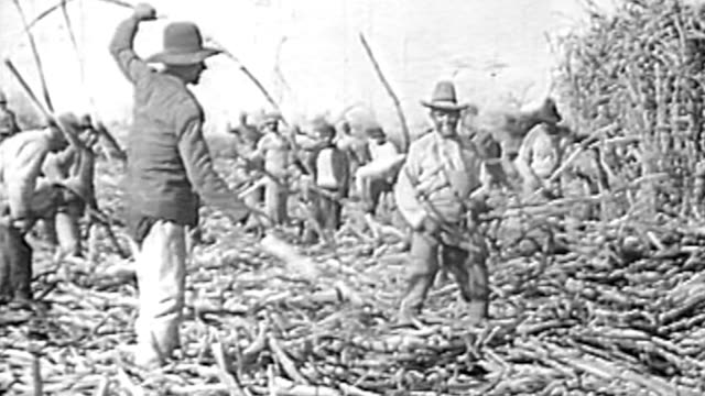 men cutting sugar cane on the field - sugar plantation and mill - 1930 stock-videos und b-roll-filmmaterial