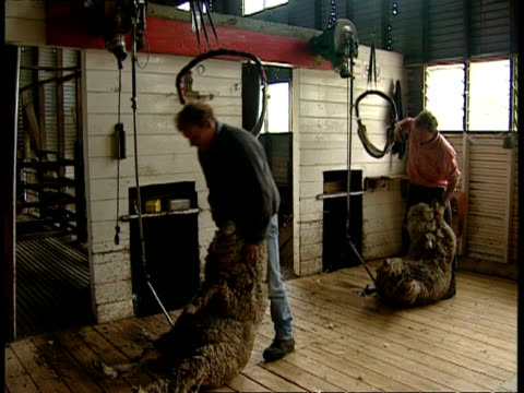 vídeos de stock, filmes e b-roll de ms men drag sheep into position and start shearing - tosquiando