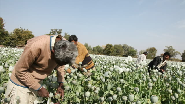 MS Men extracting the sap of the poppy / Rajasthan, India