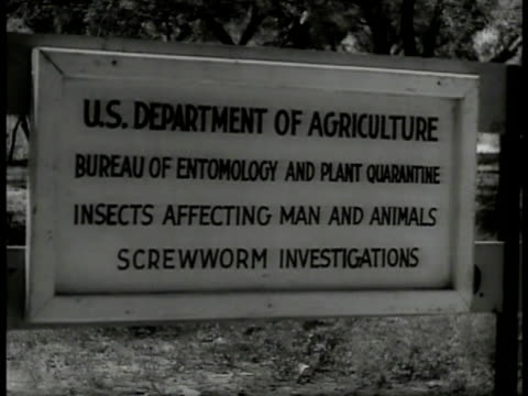 men filing saws ext cu sign 'bureau of entomology' vs men inspecting ram's head dead cow ms farmer examining cow livestock cu screwworm fly under... - livestock stock videos & royalty-free footage