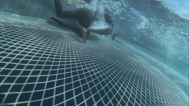 ws slo mo zi men following fish swimming in water near fishing net / moorea, tahiti, french polynesia - commercial fishing net stock videos & royalty-free footage