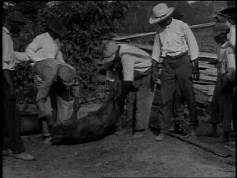 Men grabbing animal / men rolling animal onto backside