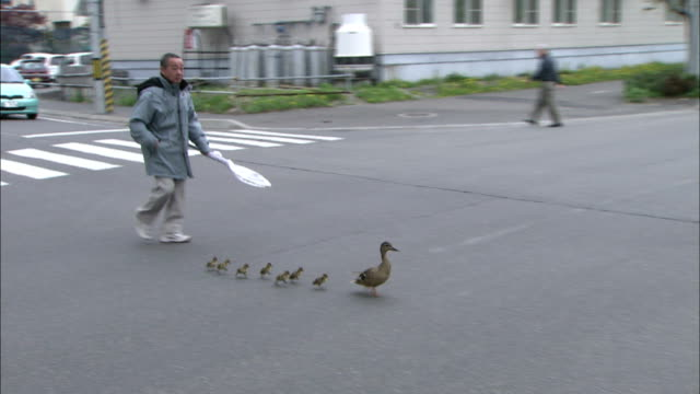 Men guide and protect duck and her brood as they cross road, Hokkaido