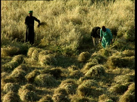 men harvest wheat with sickles tajikistan - maize stock videos & royalty-free footage
