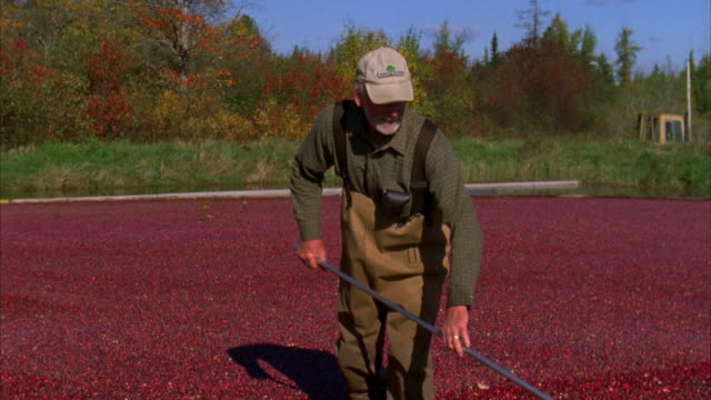 ms tu td men harvesting cranberries in bog / dennysville, maine, usa - bog stock videos & royalty-free footage