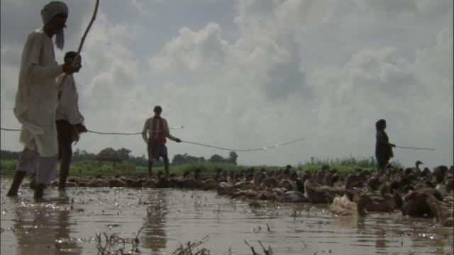 vidéos et rushes de men herd ducks on rice paddy, varanasi available in hd. - canard oiseau aquatique