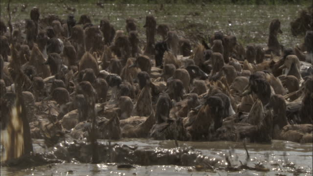 vídeos y material grabado en eventos de stock de men herd ducks on rice paddy, varanasi available in hd. - pájaro acuático