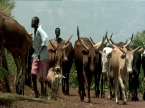 ws pan men herding cattle and few goats down dirt road / kigali, rwanda - gemeinsam gehen stock-videos und b-roll-filmmaterial