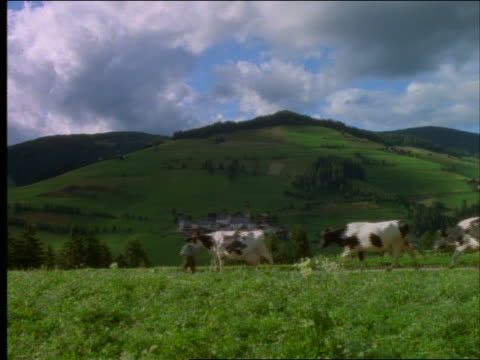 men herding group of cows on path / green mountains in background - erbivoro video stock e b–roll