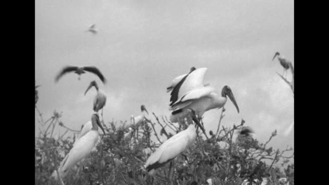 vídeos y material grabado en eventos de stock de / men in motorboat moving slowly though heavy mangroves / vs thousands of wood storks flocking on small islands with juveniles in nests, eggs, new... - árbol tropical