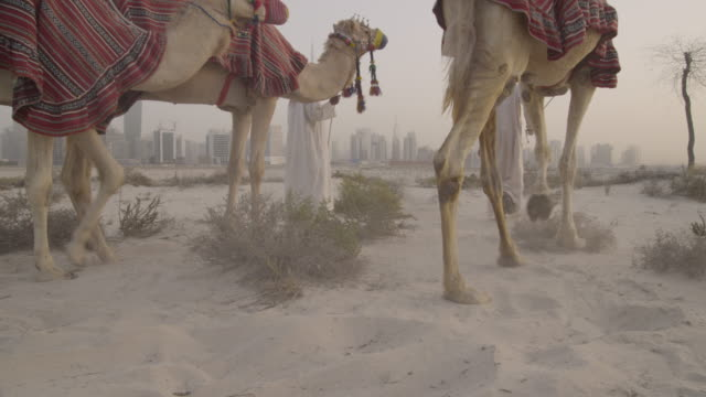 Men lead camels towards Dubai city, UAE