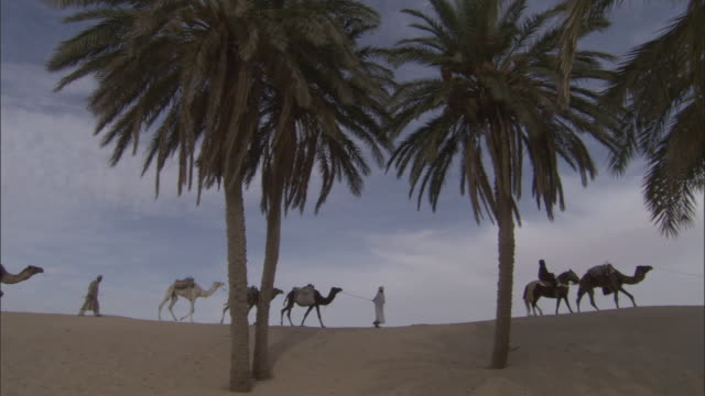 ws pan men leading camels across desert sand dunes with palm trees in foreground / tunisia - tunisia stock videos & royalty-free footage
