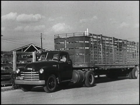 men load cattle onto a 1950 chevrolet truck with a really long semi trailer then they transport the cattle on rocky paths and highways montage 1950... - chevrolet truck stock videos & royalty-free footage
