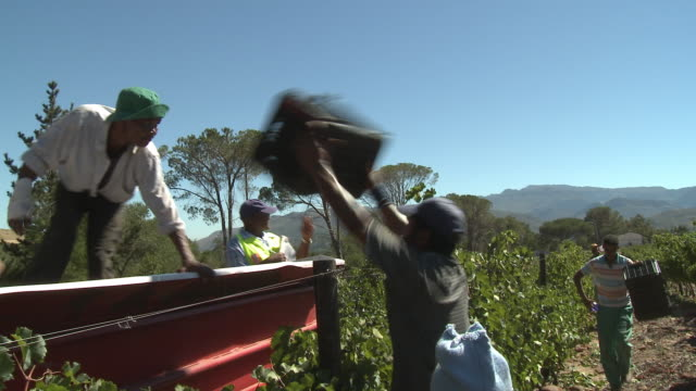 ms pan men loading grapes onto moving tractor trailer, franschhoek, western cape, south africa - traktor stock-videos und b-roll-filmmaterial