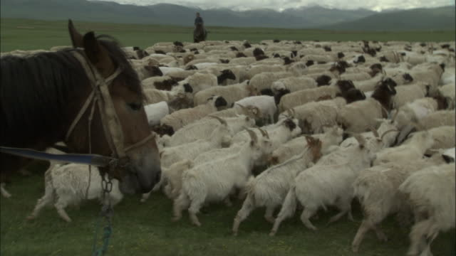 vídeos y material grabado en eventos de stock de men on horseback drive sheep over plains, bayanbulak grasslands - oveja merina