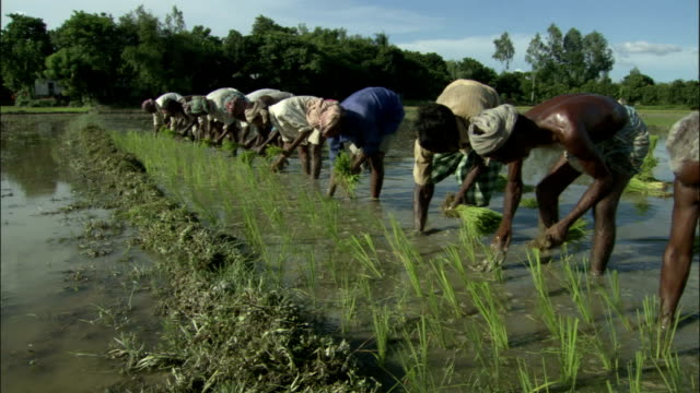 stockvideo's en b-roll-footage met men plant rice in paddy field available in hd. - cereal plant
