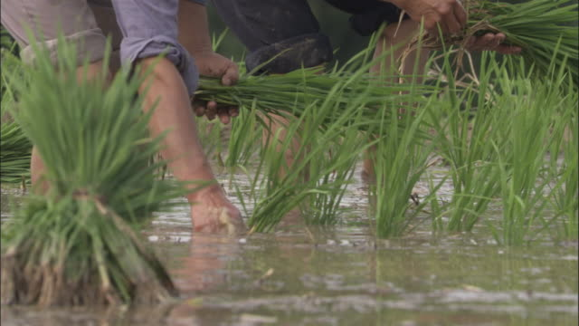 men plant rice in paddy field, qinling, china - rice paddy stock videos and b-roll footage