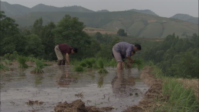 stockvideo's en b-roll-footage met men plant rice in paddy field, qinling, china - cereal plant