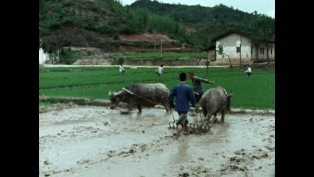 men plough a rice paddy field using water buffalo; 1973 - till stock videos & royalty-free footage