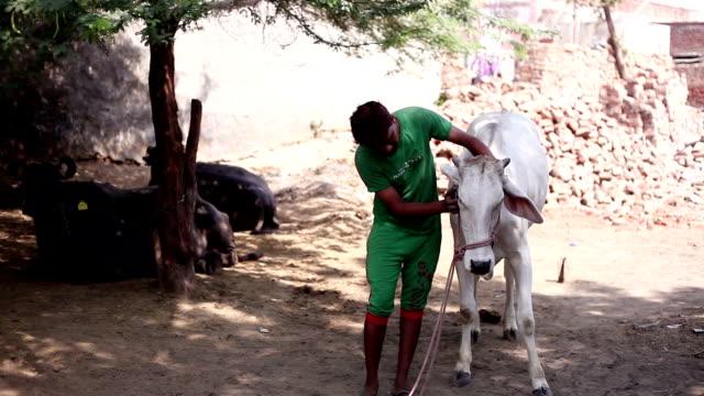 stockvideo's en b-roll-footage met mannen portret met koe - borstelen