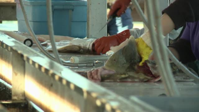 "vídeos de stock e filmes b-roll de ""cu of men processing freshly caught fish [halibut] at busy fish cleaning station on boardwalk, sunny day in seward, kenai peninsula, alaska."" - grupo mediano de animales"