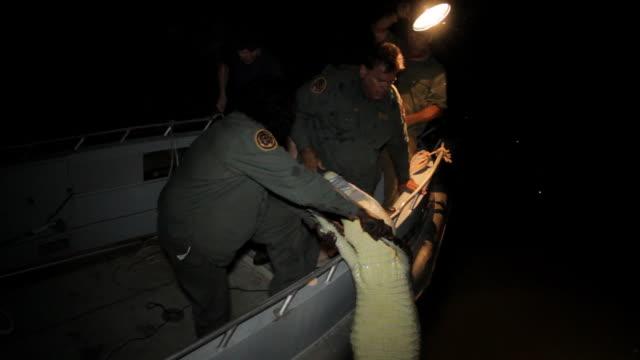 vídeos y material grabado en eventos de stock de ms tu td zi zo men pulling crocodile into boad on river at night / northern territory, australia - wiese