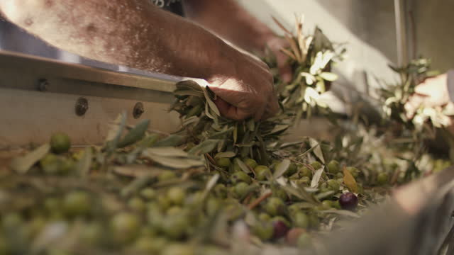 men pulling olive branches off conveyor belt - branch stock videos & royalty-free footage