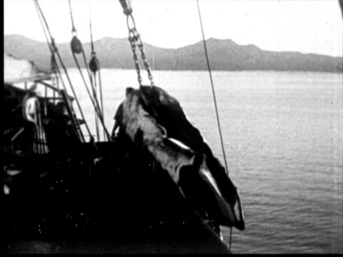 men pulling whales in ship and cuting  audio - anno 1920 video stock e b–roll