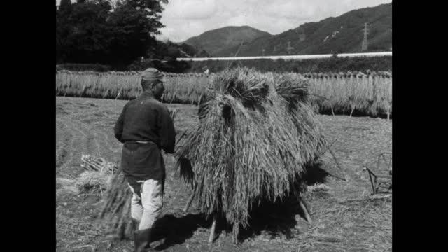 men put bundles of harvested rice onto drying rack; 1964 - rural scene stock videos & royalty-free footage