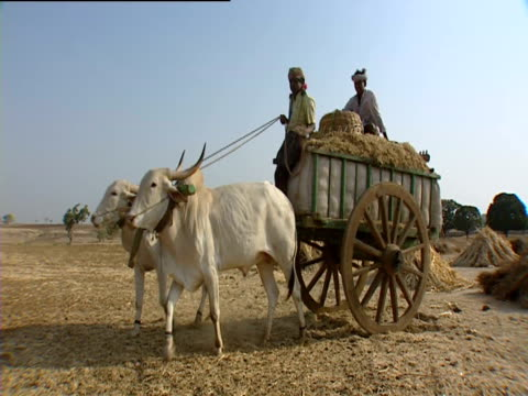 men riding on cart being pulled by oxen with hay piled up behind india - 牛車点の映像素材/bロール