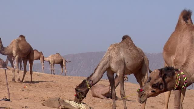ms zo pan ws men standing near tethered camels at pushkar camel fair / pushkar, rajasthan, india - 馬勒点の映像素材/bロール