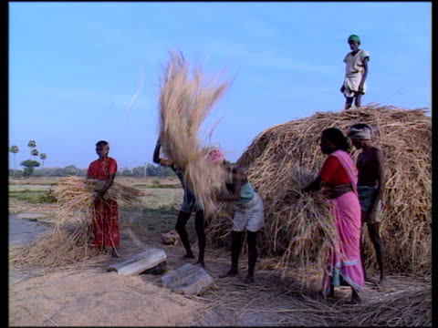 men threshing rice crop on stone to sort from chaff and throw waste onto large pile tamil nadu. - threshing stock videos & royalty-free footage