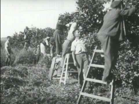 men walking up steps formed by stacked burlap bags carrying grain sacks on backs. vs communal farm workers harvesting citrus fruit by hand, picking... - 荒い麻布点の映像素材/bロール