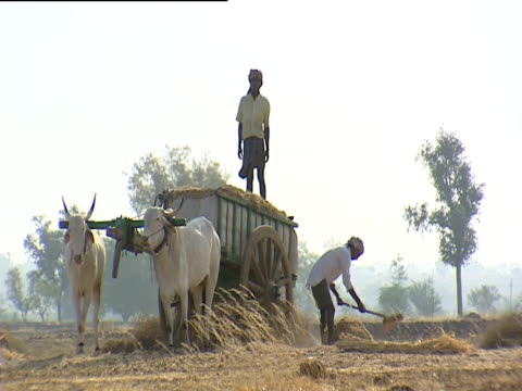 men with oxen and cart working on farm india - 牛車点の映像素材/bロール