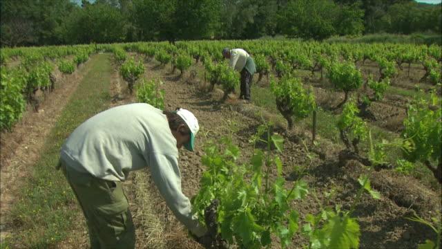 stockvideo's en b-roll-footage met ws ts men working in vineyard / provence, france - hoofddeksel